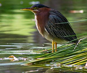 A Rocha bird on water (1)